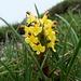 Pédiculaire d'Oeder (Pedicularis oederi)