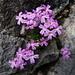 Erine des Alpes (Erina alpina)