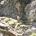 Ein Steinbock auf unserem Wanderweg :-)