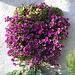 Monti di Ravecchia-Ormai a Dicembre che splendida fioritura !!!
