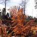 goldener Herbst - am 8. Dezember