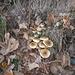 8 dicembre funghi freschi !!!!!
