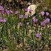 Im Abstieg zwischen Pico de Las Alegas und Puente Palo - Es wächst an vielen Stellen im Hang, blüht lila und sieht aus wie Schnittlauch. Nur die Blütenhüllblätter sehen etwas anders als im heimischen Garten aus. Auf jeden Fall ist es wohl Lauch-Art (Allium spec.).