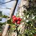 Osterschmuck im Advent, die Stechpalmen wachsen an diesem Südhang in Massen