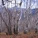 Salendo al Bisbino si attraversa un magnifico bosco di betulle.