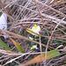 Dovrebbe trattarsi di Polygala chamaebuxus, il colore giallo indica che è un fiore nuovo, a metà dicembre!