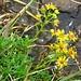 "an Bachrändern blüht der Fetthennen-Steinbrech ""saxifraga aizoides"""
