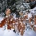 form- und farbintensiv, die Eichen-Blätter