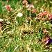 Enzian, Schneeheide, Mehlprimel u. Gänseblümchen beim Anstieg durch das Gemsteltal