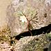 Hahnenfuß bei der Lechleitner Alpe