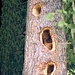 Spechtschmiede im Abstieg ins Stillachtal,<br />am Fuße des Stamms lag ein knapp 50 cm hoher Haufen Holzspäne