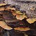 30. November: Pilze im Auenwald