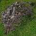 ein für diese Gegend charakteristischer Nagelfluh-Felsen, von blühender Vegetation bedeckt
