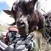 Eine Ziege auf der Almagella-Alm