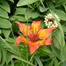 Feuerlilie - Mattstock, Bärenfall