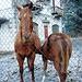 Pferde bei Verampio