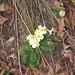 primule (è già primavera?).........