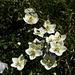 Parnassie des marais (Parnassia palustris)
