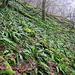 Hirschzungenfarn, Charakterart der feuchten Schatthangwälder im Leinebergland.