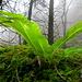Regenwald und Hirschzungenfarn von unten.
