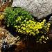 Saxifrage faux aizoon (Saxifraga aizoides)