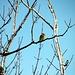 Auch heute sind wieder die Fichtenkreuzschnäbel am Gipfelbaum des Kranzberg 3