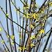 Schon Frühlingsblumen in der Kärntner Alm Barbarazweige 1