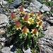 Kriechende Nelkenwurz oder auch Gletscher-Petersbart(Geum raptans). Diese Pflanze ist ein Pionier auf Moränen und bevorzugt Felsschuttflure.<br />Kalkmeidend, wächst selten direkt auf Fels.<br />Wächst zwischen 2000 und 3800 Meter Höhe. Diese Pflanze ist ein Spezialist für Schutthalden.<br />Man lernt eben NIE aus.....