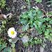 Bellis perennis. Come dice il nome, fiorisce tutto l'anno.