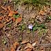Una pervinca a Respaù di sotto, l'8 gennaio, decisamente in anticipo sulla primavera!