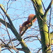 ...ein Eichhörnchen im Januar.