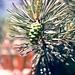 Zapfen u. Blüte der Kiefer im Oytal