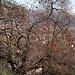 Überbleibsel vom Herbst: überreife Kaki