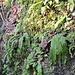 Hirschzunge [Asplenium scolopendrium].