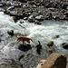Die lang-erhoffte Abkühlung für die Hunde - Shadow und Finnley genießen ausgedehn das  Bad im eiskalten, rauschenden Gletscherbach.