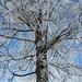 Baum im Raureifkleid