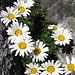 """Ein Blütenfleck im Fels, Alpen-Wucherblume """"chrysanthemum alpinum"""""""