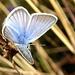 Steinkleebläuling (Polyommatus dorylas)