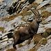 Steinböcke, die wohl besten Bergsteiger!!