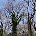 Efeubewachsene Bäume.