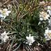 Edelweiss-Bouquet