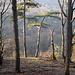 Kiefern am Steilhang der Barenburg