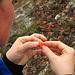 Zwischenverpflegung mit Vitamin C direkt vom Strauch - Hagebutten