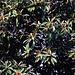 Japanische Wollmispel (Eriobotrya japonica).