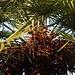 Zwergpalme (Chamaerops humilis) mit reifen Früchten.