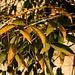 Blätter eines Korallenbaumes der Art Erythrina crista-galli. Der Baum stammt aus Argentinien, Uruguay, Brasilien und Paraguay und bildet im Frühling grosse, leuchtend rote Blüten.
