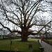 Beeindruckend, der riesige Baum im Park des Schlosses zu Bottmingen