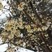 <b>Calicanto (Chimonanthus sp.).</b>