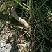 Blindschleiche (Anguis fragilis). Ich rettete die beinlose Echse von der Strasse und transportierte sie ins Gras nebanan. ;-)