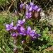 Reichästiger Enzian (Gentiana ramosa)